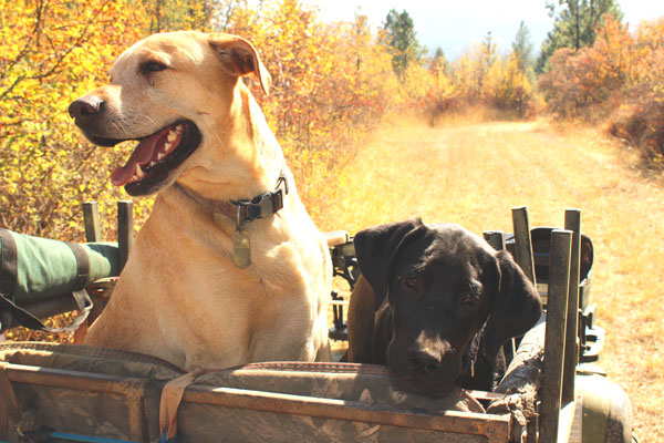 Hunting with dogs and ATV.